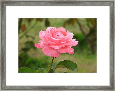 Framed Print featuring the photograph Perfect In Pink by Lew Davis