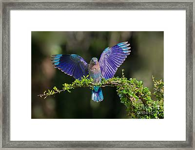 Perfect Landing Framed Print by Ashley Vincent