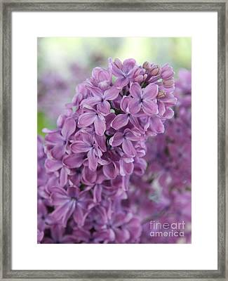 Perfect Lilac Framed Print