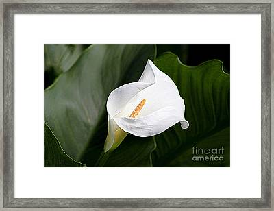 Perfect Lily Framed Print by Frances Hodgkins
