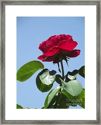 Perfect Red Rose Framed Print by Cheryl Hardt Art