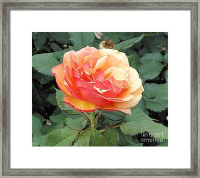 Framed Print featuring the photograph Perfect Rose by Janette Boyd