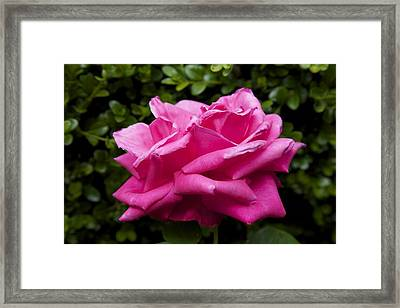 Perfect Rose Framed Print by Terry Horstman