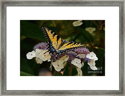 Perfect Tiger Swallowtail Butterfly Framed Print by Byron Varvarigos