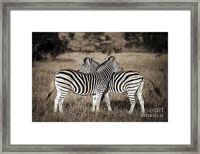 Perfect Zebras Framed Print