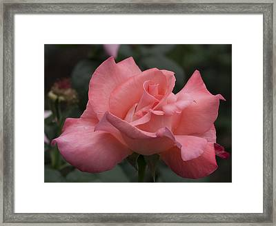 Perfection In Pink Framed Print by Lauren MacIntosh