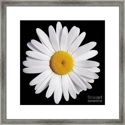 Perfectly Daisy Framed Print
