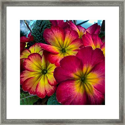 Framed Print featuring the photograph Periwinkle Delight by Cheryl Perin