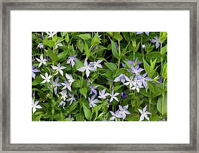 Periwinkle (vinca Difformis Sardoa) Framed Print by Bob Gibbons