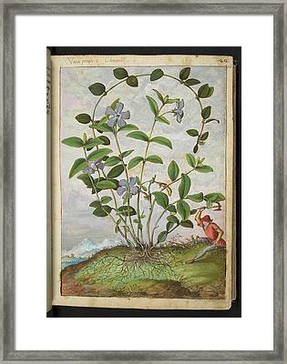 Periwinkle (vinca Minor) Framed Print by British Library