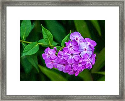 Perky Purple Phlox - Paint Framed Print