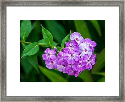 Perky Purple Phlox Framed Print