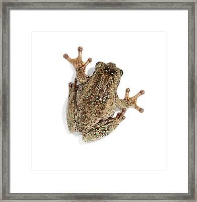Peron's Tree Frog Framed Print