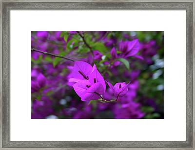 Perple Leafs Framed Print by Frederico Borges