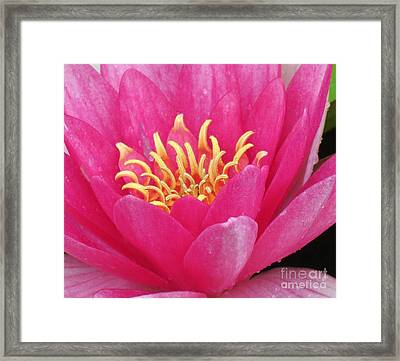 Perry's Fire Opal Water Lily Framed Print by Darleen Stry