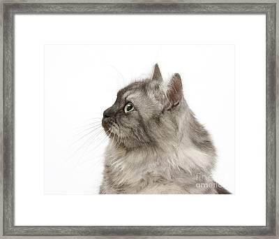 Persian X Birman Female Cat Framed Print by Mark Taylor
