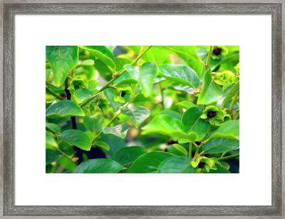 Persimmon Fruit (diospyros Virginiana) Framed Print by Maria Mosolova/science Photo Library