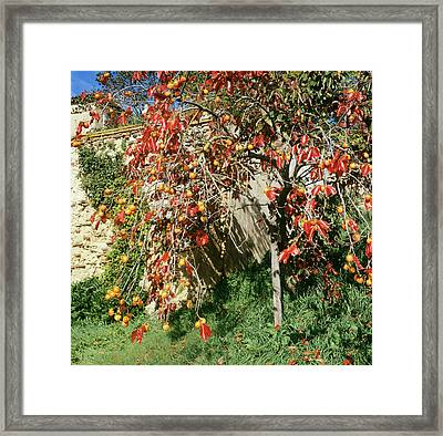 Persimmon Tree With Fruit Framed Print by Mark De Fraeye/science Photo Library