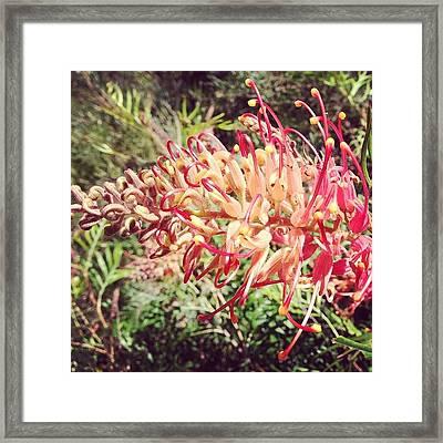 Australian Grevillea Flower Framed Print