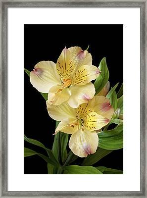 Peruvian Lily (alstroemeria X Hybrida) Framed Print