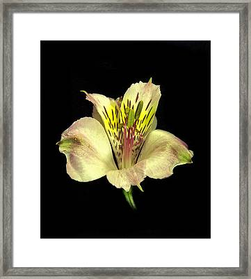 Peruvian Lily. Framed Print