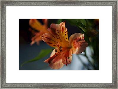 Peruvian Lily Framed Print