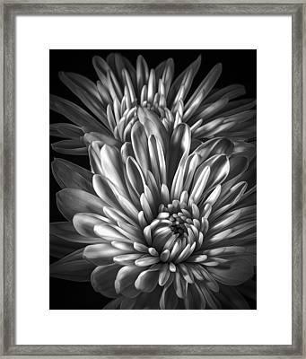 Petaled Black Framed Print by Bill Tiepelman