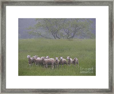 Peterson Farm Sheep 052313 Framed Print by Gene  Marchand