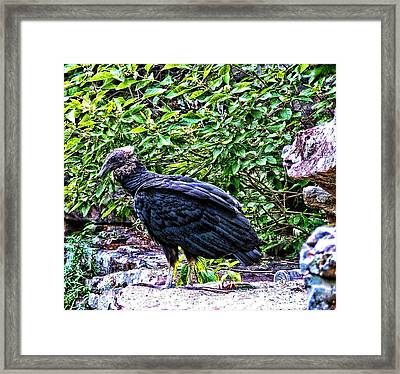 Petitjean Vulture Framed Print by Joe Bledsoe