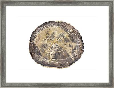 Petrified Hickory Tree Trunk Section Framed Print by Science Stock Photography