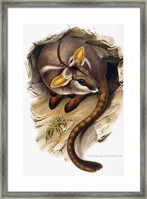 Petrogale Xanthopus      Ch 991244 Framed Print by English School