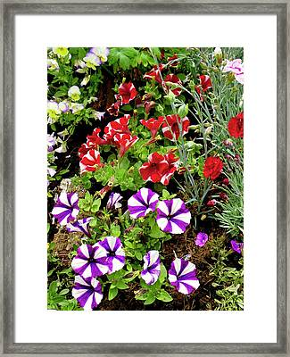 Petunia Flowers Framed Print