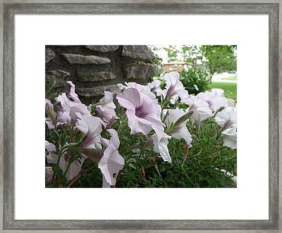 Petunia Welcome Framed Print by Amy Manley
