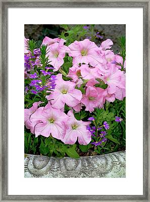 Petunia X Hybrida 'pink Lady' Framed Print by Brian Gadsby/science Photo Library