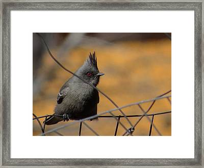 Phainopepla Framed Print by Feva  Fotos