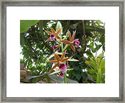 Phaius Orchids Framed Print