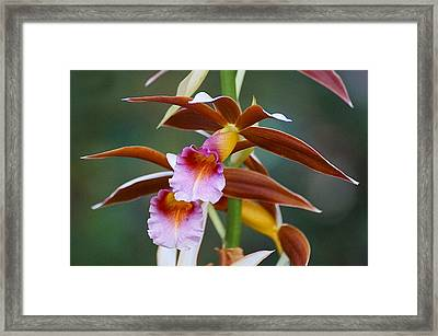 Phaius Tankervilliae Orchid Framed Print by Blair Wainman