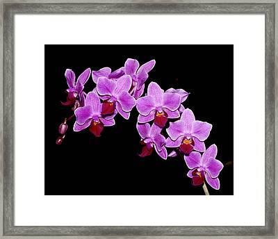 Phalaenopsis Framed Print
