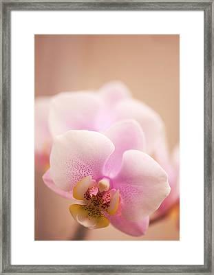 Phalaenopsis 'nobby's Army' Flowers Framed Print