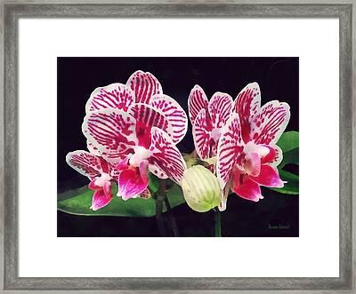 Phalaenopsis Orchid Taida Little Zebra  Framed Print by Susan Savad
