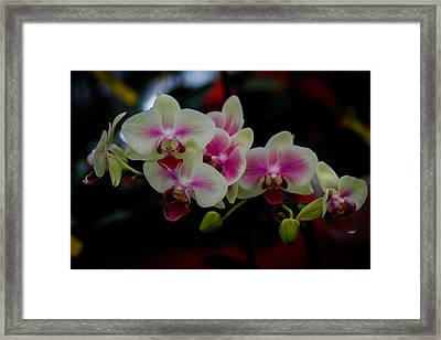Phalaenopsis Pink Orchid Framed Print by Donald Chen