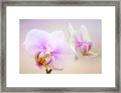 Phalaenopsis 'sweetheart' Orchid Flowers Framed Print