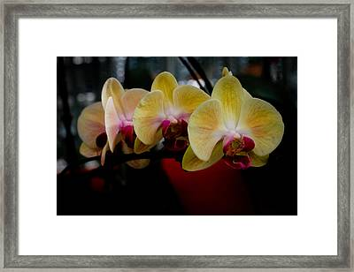 Phalaenopsis Yellow Orchid Framed Print by Donald Chen