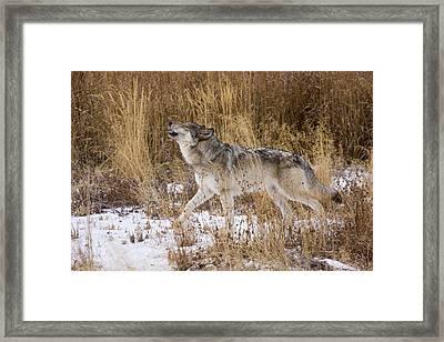 Phantom Lake Wolf Framed Print