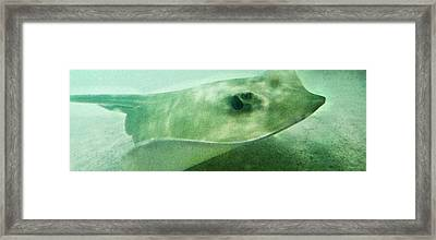 Phantom - Manta Ray Art By Sharon Cummings Framed Print by Sharon Cummings