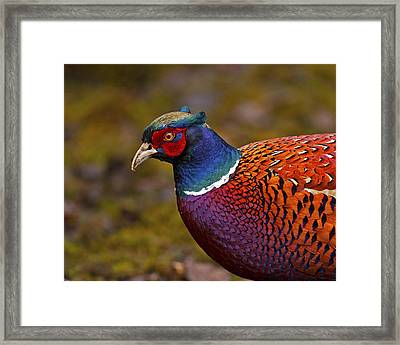 Pheasant Framed Print by Paul Scoullar