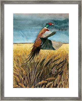 Pheasant Rising Framed Print