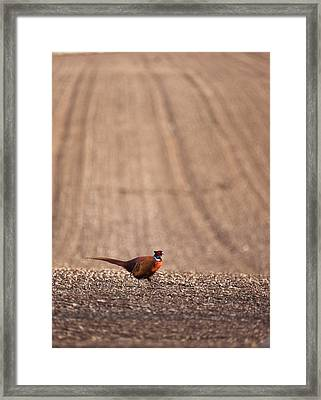 Pheasant Standing On The Ground Framed Print by John Short
