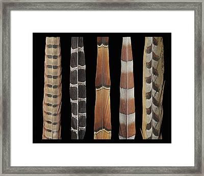 Pheasant Tail Composite Framed Print by Chris Maynard