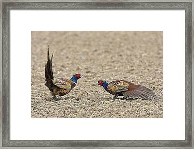 Pheasants Fighting Framed Print by Bildagentur-online